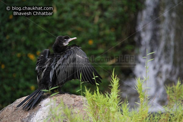 Little Cormorant [Phalacrocorax niger, Microcarbo niger] sitting near a waterfall - Photography done at Okayama Garden [AKA Pu La Deshpande Garden] in Pune